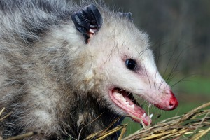 JetBlue won't allow possums on board, even if other US airlines will.
