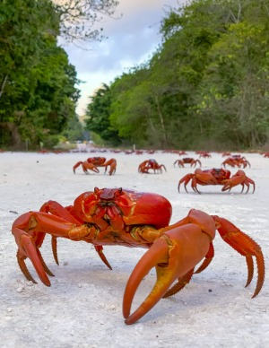 An estimated 50 million red crabs migrate across Christmas Island to the ocean during their breeding season between late ...