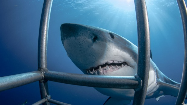 Diving with great white sharks is a popular activity in Mexico.