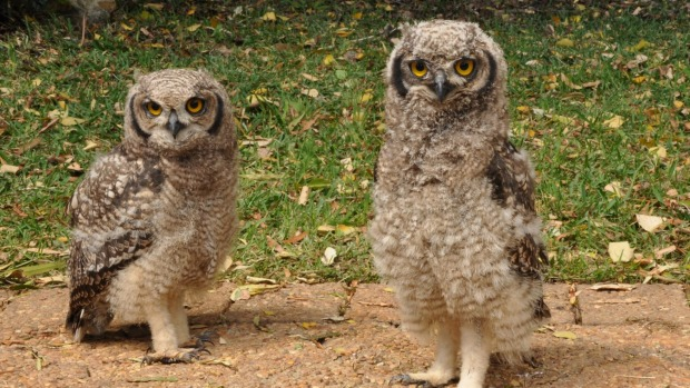 Spotted Eagle Owl chicks.