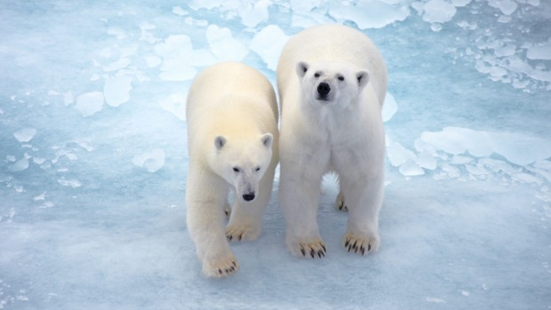 Polar bear spotting on Cruise Express expedition cruise on le Commandant Charcot.