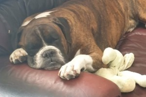 Duke the Boxer died while on a flight from Sydney to Brisbane.