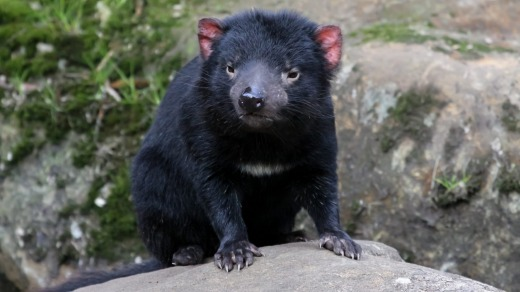 The Tasmanian devil was once native to mainland Australia but can now only be found in Tasmania.