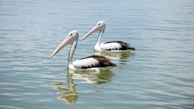 Pelicans near the Mouth of the Murray.