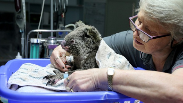 Sheila Bailey tends to an injured koala at The Port Macquarie Koala Hospital.