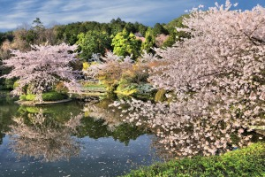 'A magic pink carpet starts to unfurl before us': Cherry blossom season in Japan.