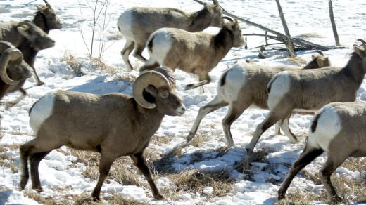 Big-horn sheep (pictured), elk and deer can still be seen during winter.