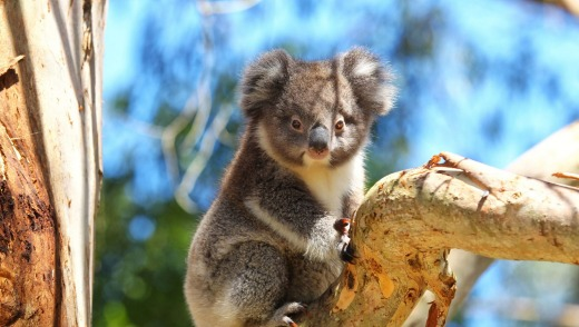The Otways have a strong koala population.