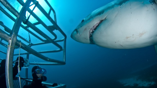 There's something about the terror of confronting a Great White Shark – and surviving – that never fails to appeal.