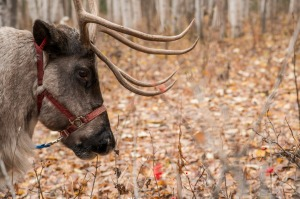 A ranch reindeer.