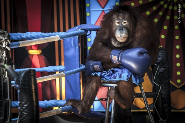 Highly commended: Losing the fight by Aaron Gekoski, UK. Orangutans have been used in degrading performances at Safari ...