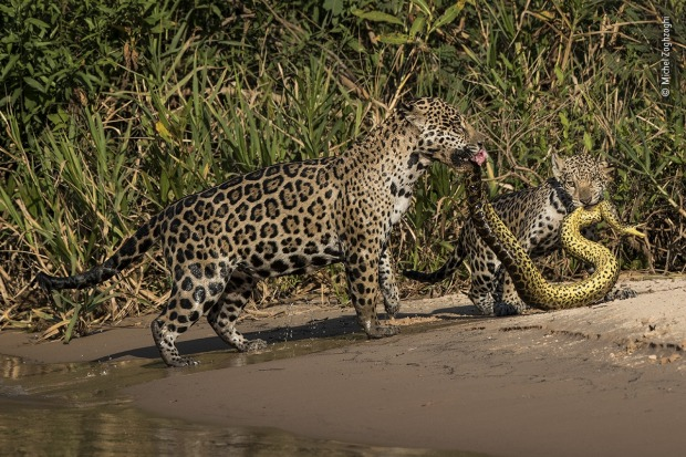Highly commended: Matching outfits by Michel Zoghzoghi, Lebanon. Michel was in the Pantanal, Brazil photographing ...