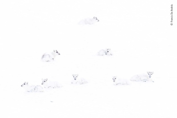 Highly commended: Spot the reindeer by Francis De Andres, Spain. The conditions for photographing at the Norwegian ...