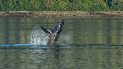 A whale breaches in LeConte Fjord near Petersburg.