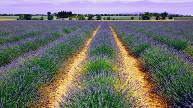 Field of lavender, Grasse.