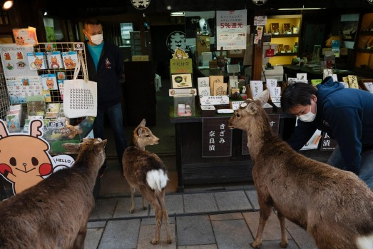 In the Japanese town of Nara, its deer wander the streets in search of food.