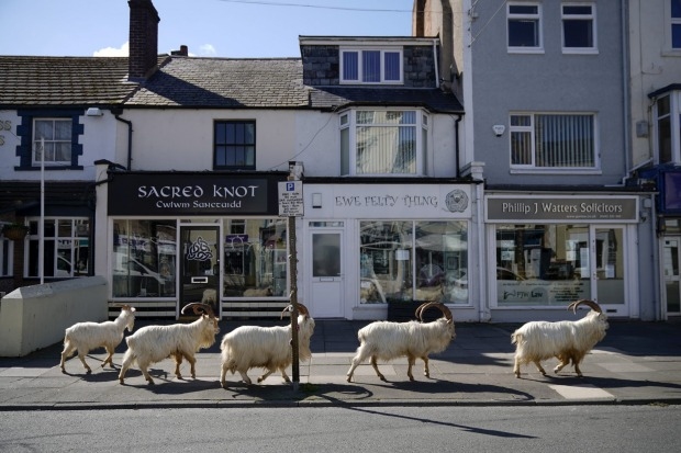 Mountain goats roam the streets of LLandudno, Wales. The goats normally live on the rocky Great Orme but are occasional ...