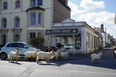 A herd of goats walk the quiet streets in Llandudno, north Wales. The group of goats have been spotted walking around ...