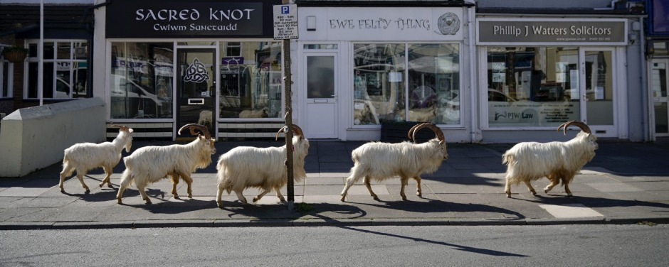 Mountain goats roam the streets of LLandudno.