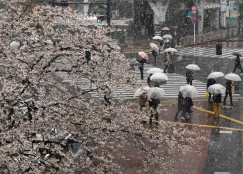 Visitors are viewing and taking photos of cherry blossoms in unseasonably snowfall at Shibuya in Tokyo, Japan, while ...