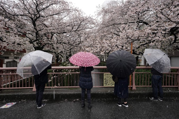 Visitors viewing and taking photos of cherry blossoms in Tokyo, Japan, while Tokyo government warns to avoid crowd for ...