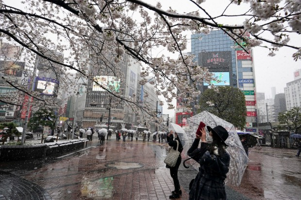 People are taking photos of cherry blossoms with unseasonable late snowfall at Shibuya, Tokyo, Japan. Tokyo Governor ...