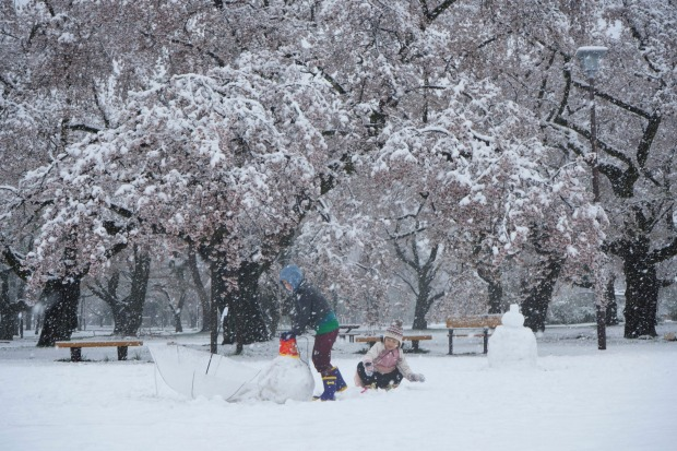 Koganei Parik is covered with snow amid cherry blossom season in Tokyo.