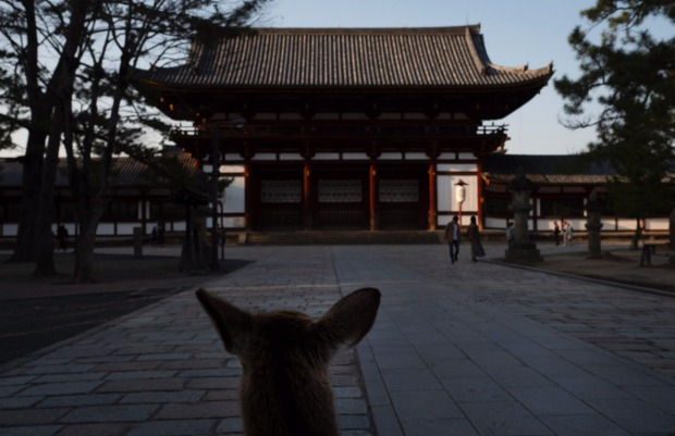 A deer roams free near Todaiji temple in Nara, Japan.