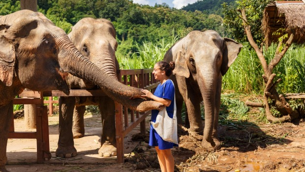 Thai elephants at a sanctuary in Chiang Mai.