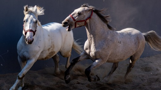 Two horses play in a paddock at the horse stable of Vienna's biggest fiaker.