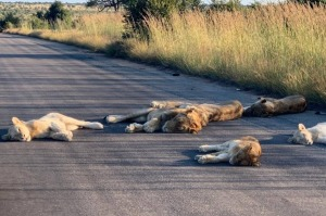 Lions take a cat nap in the middle of the road.