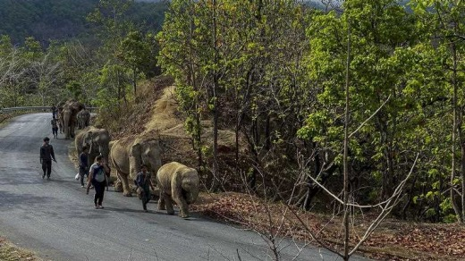 A herd of 11 elephants walk along a paved road during a 150-kilometre journey from Mae Wang to Ban Huay in northern Thailand.