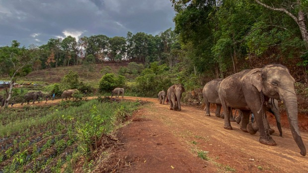 Save Elephant Foundation are helping elephants who have lost their jobs at sanctuary parks due to the lack of tourists ...