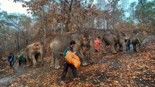 These unemployed elephants depend on the tourist industry to feed their voracious appetites.