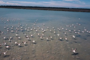 Humans getting their wings clipped during the coronavirus pandemic is allowing flamingos and other birds to flourish in ...