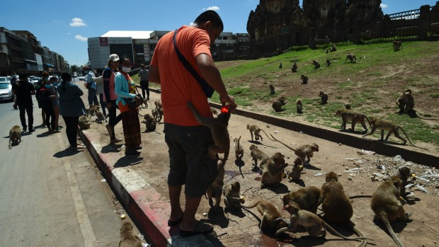 Hordes of macaques can be found around Lopburi, Thailand, in disturbing numbers.