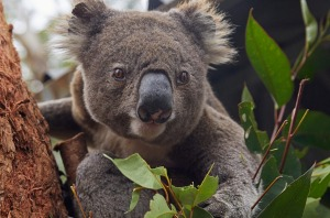 A recent inquiry found that koalas would be extinct by 2050 if nothing was done to rapidly arrest their decline