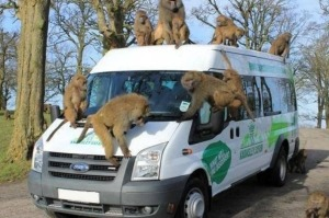 Curious baboons on the Baboon Bus at Knowsley Safari Park.