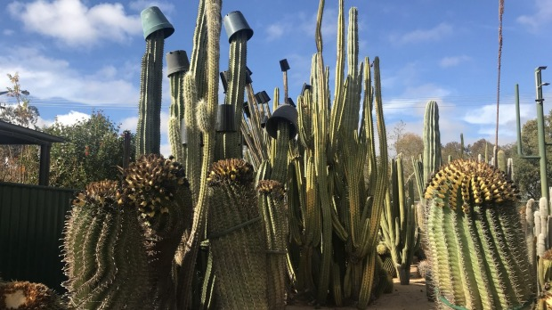 Some of the cacti wear 'hats' to protect them from frost.