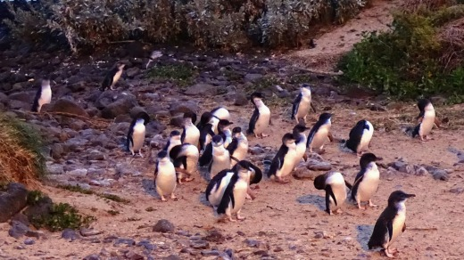 Watching Phillip Island's penguin parade online was a lockdown favourite.