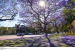 Jacaranda trees in full bloom along Oxford Street, Paddington, Sydney.