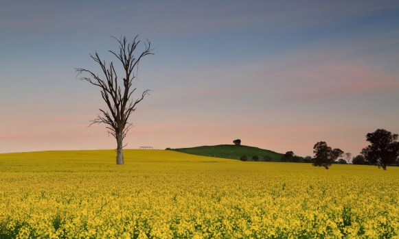 Subtle dusk skies after sunset over canola farm fields in Central West NSW, Australia.