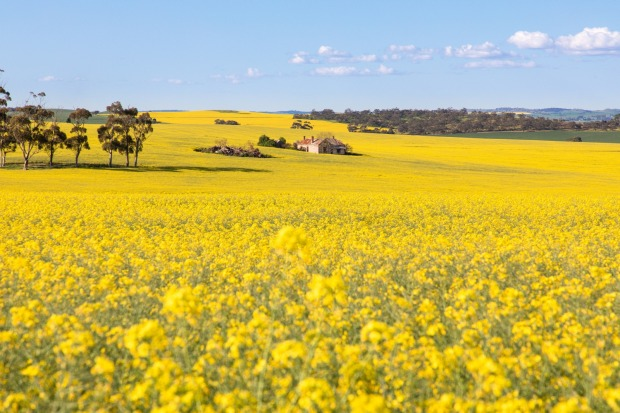 Each spring the rolling hills of the Clare Valley - one of South Australia's premier wine regions - turn to gold. Home ...