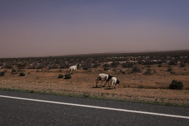 Feral goats, a common sight on the Silver City Highway.