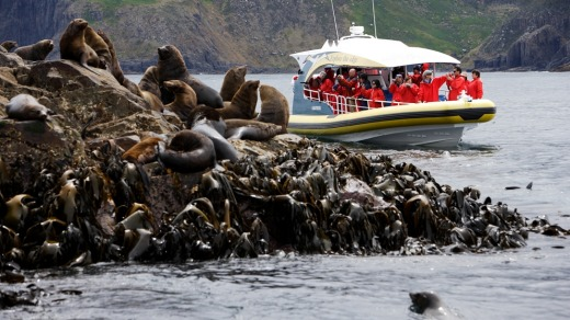 A colony of fur seals at The Friars.