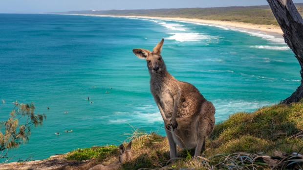 Kangaroo poses at North Stradbroke Island, Queensland.