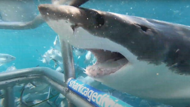 A Great White gets a closer look at the shark cage in Port Lincoln.