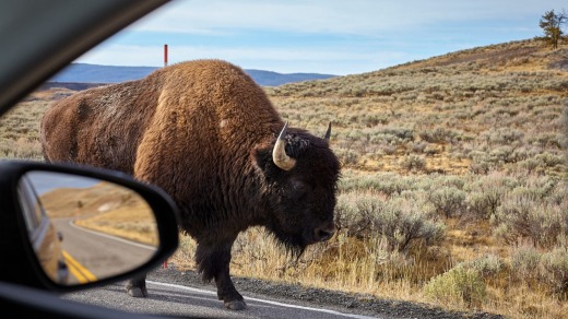 Bison in Yellowstone are not tame, nor are they scared of visitors.