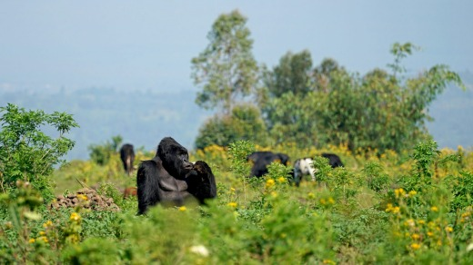 Every year thousands of tourists enter the Democratic Republic of Congo to see the mountain gorillas.