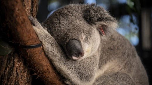 Evans Head CW is a 3yo male koala who is the first male to be part of the new breeding program at the Port Macquarie ...